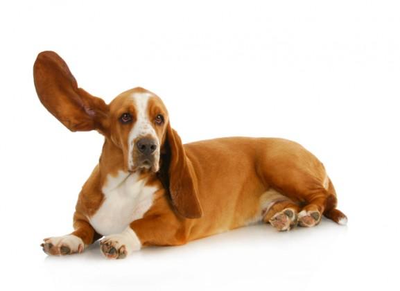 pus nell'orecchio del cane
