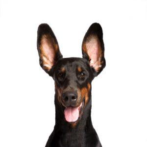 cane orecchie infezioni
