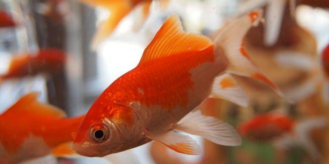 Gli italiani preferiscono i pesci rossi il rapporto sui for Quanto vivono i pesci rossi
