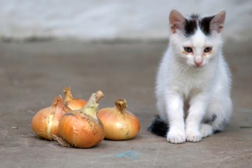 cipolle gatti
