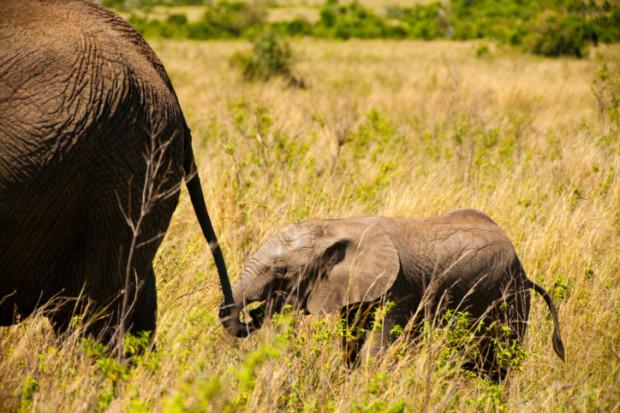 elefanti foresta africana