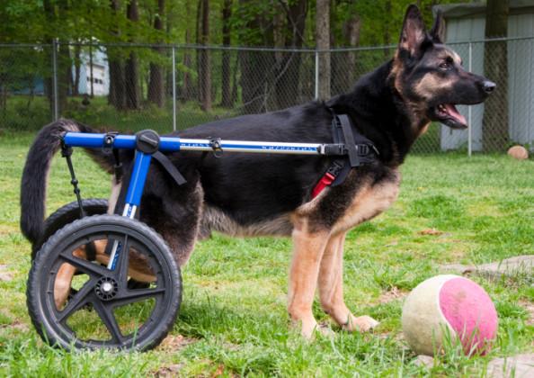artrite nel cane sintomi e cure
