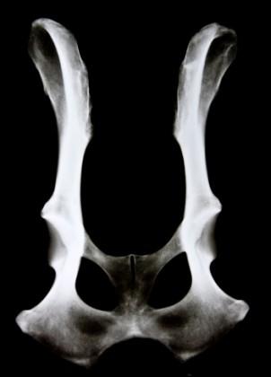 cane artrite