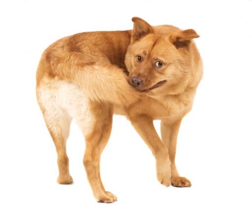 perché il cane si morde la coda