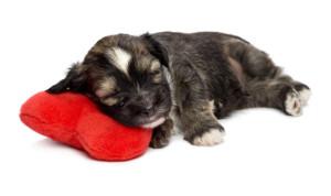 malattie cuore cane