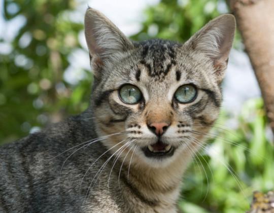 miagolio gatto significato