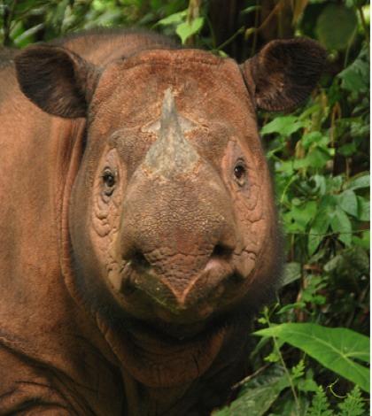 rinoceronti di sumatra