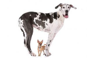 età cane alano chihuahua