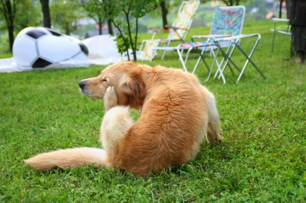 dermatite allergica da pulci nel cane