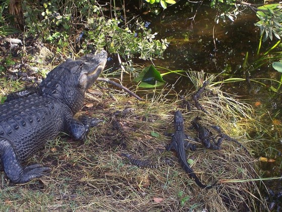 piccoli alligatori con la mamma