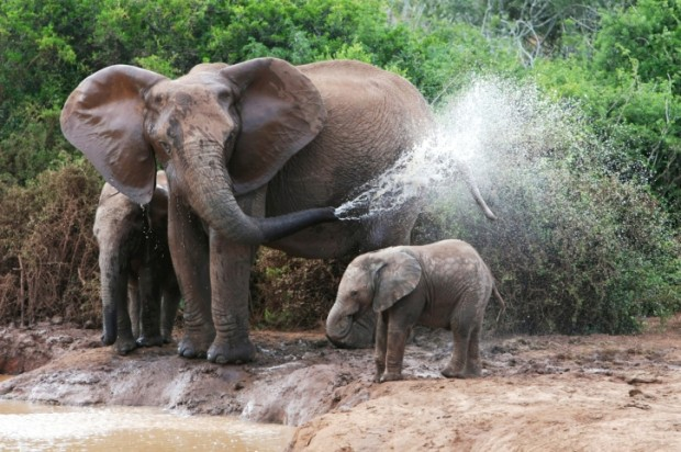 mamma elefantessa con elefantino