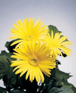 crisantemi contro inquinamento indoor