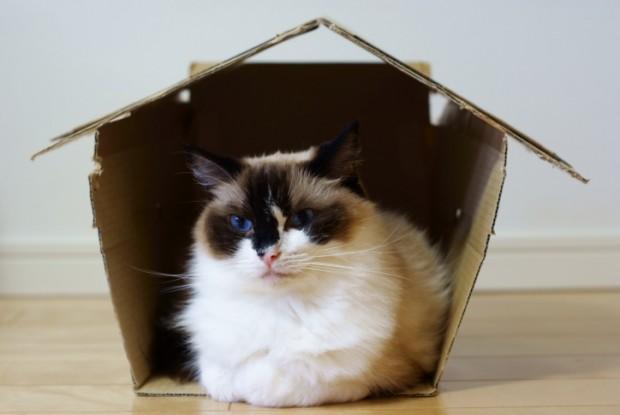 gatti in appartamento ragdoll