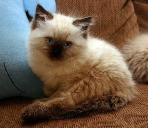 gattino ragdoll