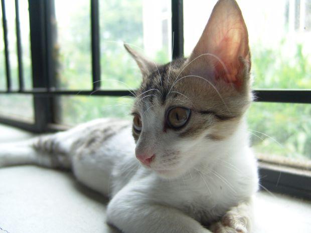 infezione all'orecchio del gatto