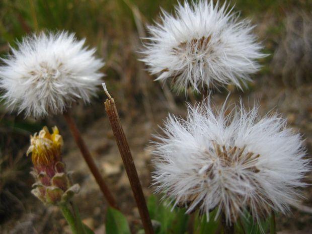 fiori allergeni