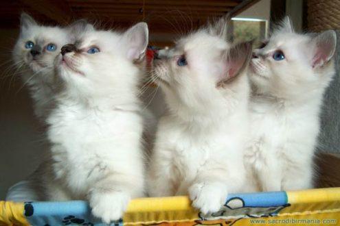 cuccioli bianchi sacro birmania