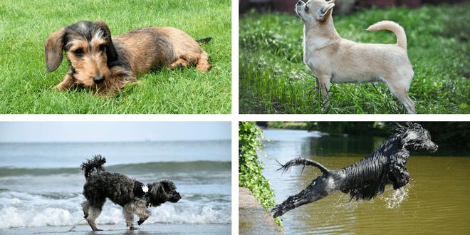 razze di cani che perdono poco pelo