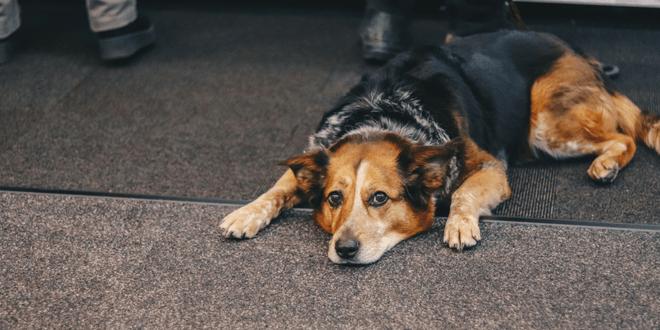 perché il cane si lamenta quando si sdraia