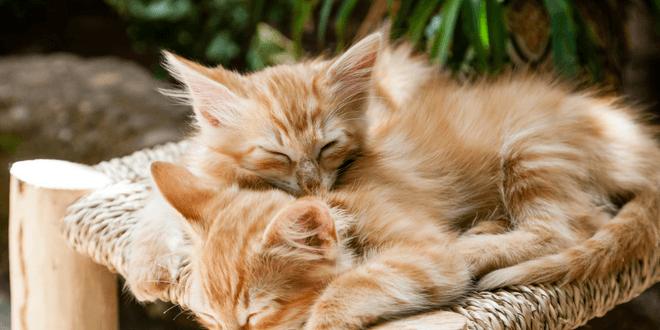 gatto dorme sempre dormiglione o letargico