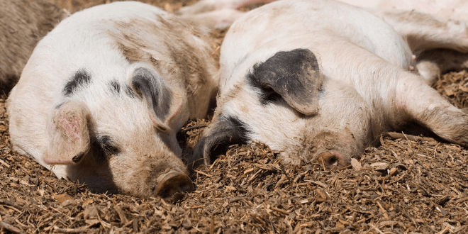 peste suina africana allevamenti maiali