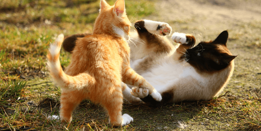 lotta tra gatti che non si riconoscono più