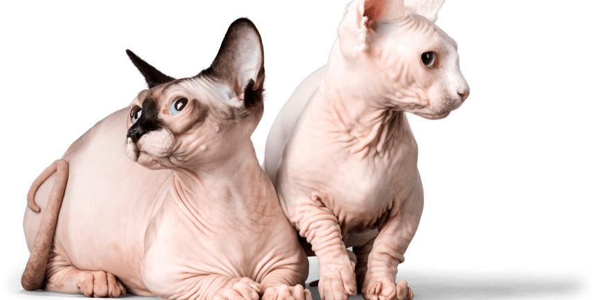 gatti senza pelo Sphynx