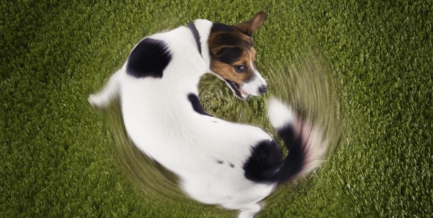 coda del cane senza pelo cause