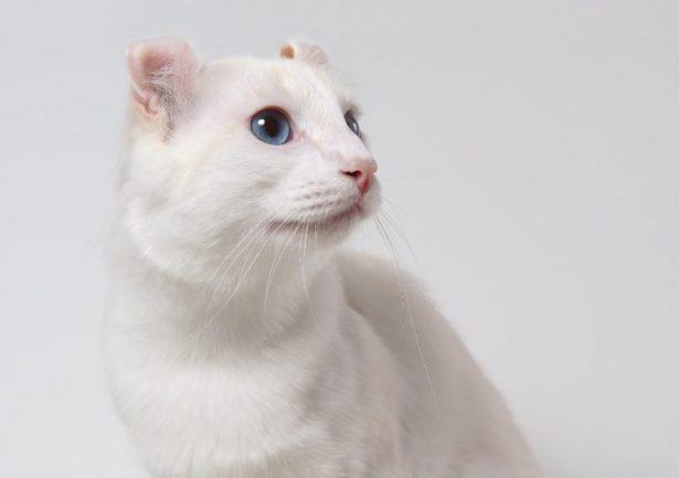 American curl bianco