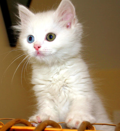 Gatto Turco Van bianco