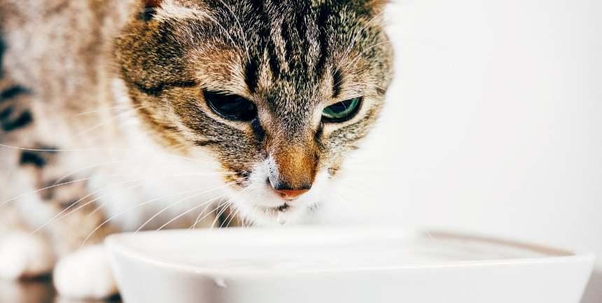 glicemia alta nel gatto