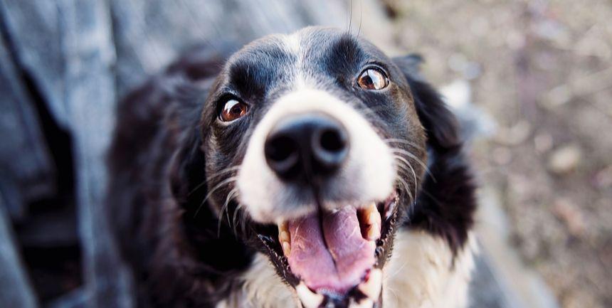 tracheite nel cane infiammazione trachea