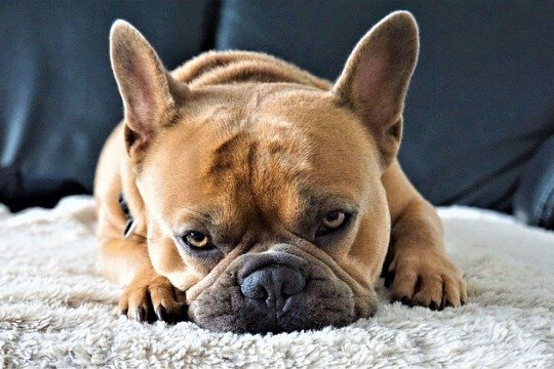 far scendere il cane dal divano