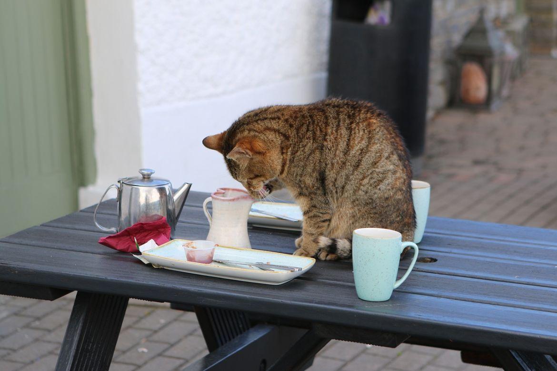 evitare che il gatto salti sul tavolo